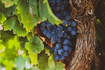 The Garnachas of Spain